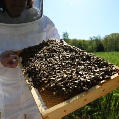 "This frame was in the middle of the hive. We think the queen was on it because there was a large ""lump"" of bees in the upper right hand side. It was hopping!"