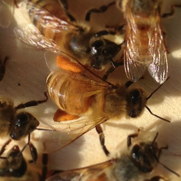 Pollen sacs are full